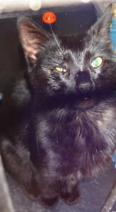 male black cat calls only please 875-4412