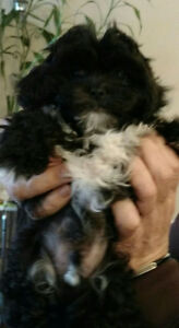 ADORABLE BLACK+WHITE TOY POODLE+SHIH TZU NONALLERGENIC PUPPY