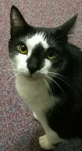 Sully -  sweet male cat for adoption