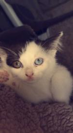 Very rare Russian blue x khoa manee kitten