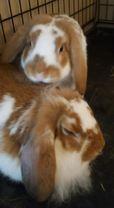 SOLD 4 month old bunnies