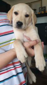 KC registered Labrador Retriever puppy boy