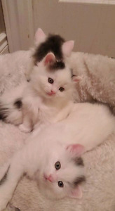2 male kittens to a good home