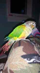 Female green cheek conure