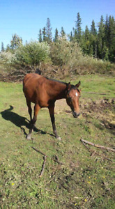 GC.Mr.Mister A.P.H.A long yeerling stud colt