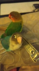 2 bonded love birds with everything you need.