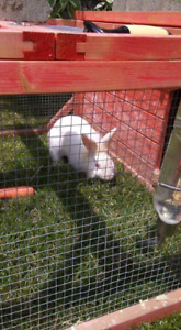 2 Lionhead white bunnies to rehome