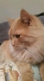 Siberian kittens, Tica Registered, pedigree