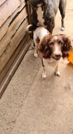 Springer spaniel x bullmastiff puppies for sale