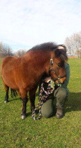 ❤Miniature Gelding for long term free Lease