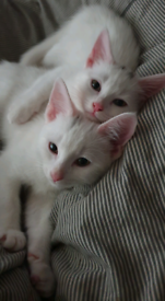 Fluffy White Kittens £300