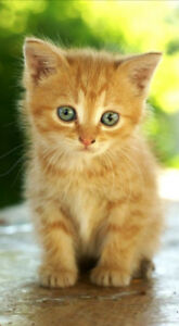 LOOKING TO BUY an orange kitten who was just born