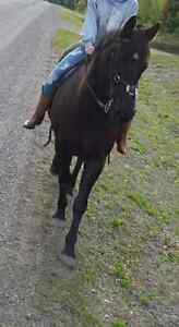 13 year old quarter horse