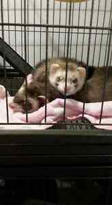 Two ferrets for sale