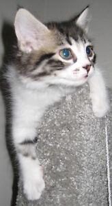 8 weeks bengal mix male kitten