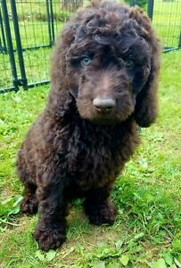 Guardian home for f1b male goldendoodle