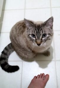 Handsome M fixed blue-eyed tabby-point for rehoming 3yo