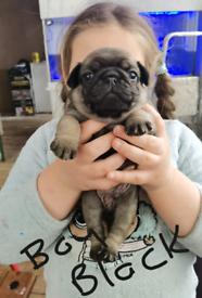 KC reg pug puppies
