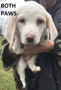 Beautiful Puppies Available - $375