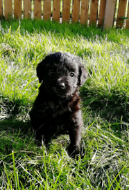 Labradoodle f1 pups