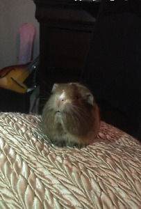 Sweetest Guinea Pig for sale