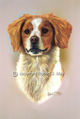 Brittany Spaniel Head Study Print by Robert J. May