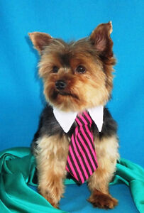 Daddy Elvis has an Absolutely Adorable Morkie X daughter