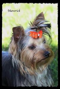CKC Registered Male Yorkshire Terrier
