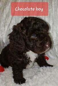 Tiny Miniature Bernedoodle puppies ready December