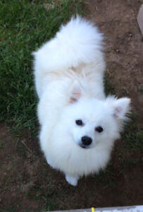 Male White Pomeranian 7-1/2 months old. All shots and chipped
