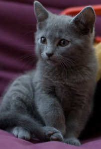Looking for a gray kitten 8-9 weeks old