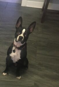 One year old Boston Terrier - Male