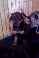 Catahoula Puppies NALC