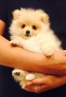 ❤️Teacup Pomeranian Puppy❤️