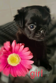 Puppies 😍 pug x
