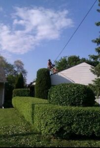 Ash tree removal ! Dangerous trees ? Call etree Oakville / Halton Region Toronto (GTA) image 3