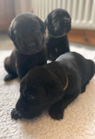 Black Labrador puppies Antrim area