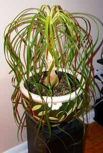 Ponytail Palm plant with pot Kingston Kingston Area image 4
