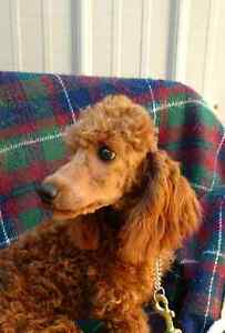 Striking Red Miniature Poodle