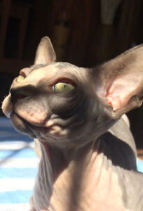 Superbes chatons Sphynx
