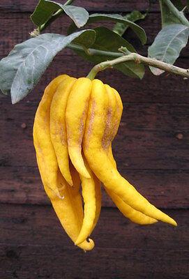 Buddha's Hand Zitrone 170cm Zitronenbaum Fingerzitrone Citrus medica 'digitata'