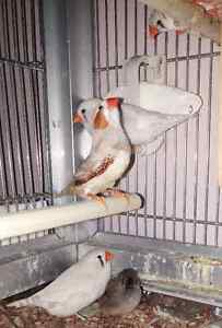 7 Adult Zebra Finches - Male & Female, 2016 March & April Babies London Ontario image 7