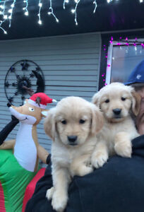 Beautiful purebred Golden retriever puppies