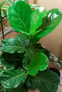 FIDDLE LEAF FIG TREE. $ 180