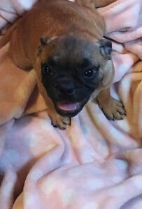 Bugg Puppies (Pug x Boston Terrier)