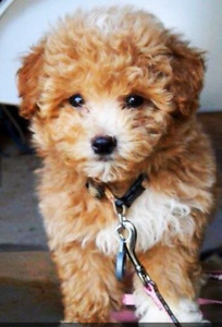 looking for maltipoo puppy