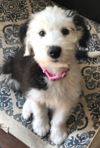 Old English Sheepdog | Adopt Dogs & Puppies Locally in Canada
