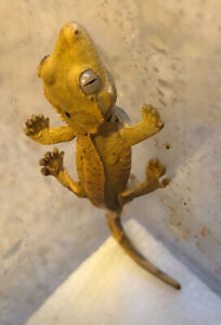 Cute Crested Gecko Babies For Sale