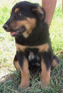 Australian Shepherd x Border Collie Pup