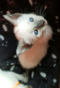 Siamese Kittens - 1 Left!